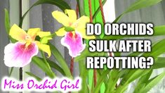 Do orchids sulk if repotted at the wrong time?
