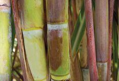 Cána de Azúcar I Sugarcane : http://vicini-exterior.com/