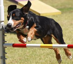 Entlebucher Mountain Dog Breed Information - American Kennel Club Mountain Dog Breeds, Obedience School For Dogs, Entlebucher Mountain Dog, Akc Breeds, Dog Information, Dog Games, Dog Behavior, Dog Owners, Dog Love