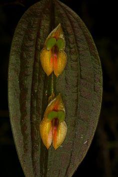Miniature Orchids, Miniature Plants, Exotic Plants, All Plants, Unusual Flowers, Beautiful Flowers, Rare Orchids, Orchidaceae, Plant Species
