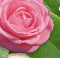 American Camelia Society - how to grow in containers