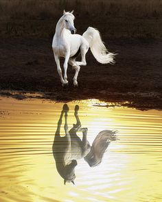 Dancing with myself. White beauty, gorgeous, beautiful, horse, hest, white, water, reflection, sunrise, sunset, golden, mirror, photograph, photo