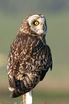 c...Short-eared Owl