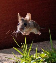 Boing! Jumping deer mouse