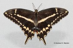 The gorgeous Schaus' Swallowtail, one of the most endangered butterflies in the world.