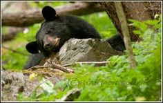 Time for a nap in the park.     #bear #wildlife