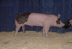 Looks like my last show pig haha