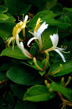 "Lonicera japonica ""Halliana"". Hall's Japanese honeysuckle. Vigorous twining large evergreen climber. Dark green ovate leaves, white fragrant flowers turning pale yellow, 4cm long. Glossy black berries."