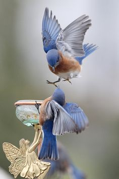 bluebirds - coming in for a landing!  *****************************************  bklynmed via tumblr #birds #bluebirds