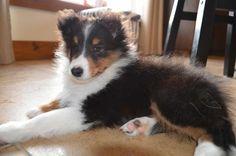 Tri puppy