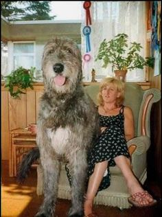 This Irish wolfhound is huge!!!!!