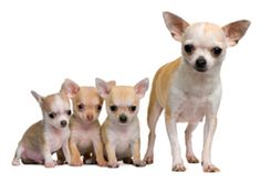 Chihuahua and puppies