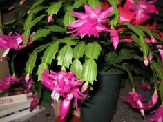 Repotting a Christmas Cactus (though mine is more of a Thanksgiving Cactus)
