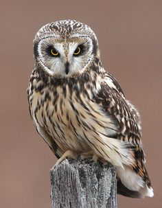 ..Content in a Cottage, short-eared owl, by Mark Trabue..