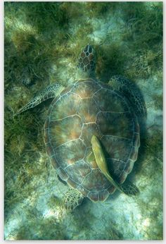 Sea turtles were ABUNDANT in the clear waters of the Galapagos Islands!