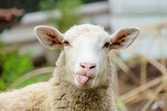 Looking for a breed of sheep for your livestock? If that is your top priority, then this list of the most popular breeds of sheep are for you. Farm Animals, Animals And Pets, Funny Animals, Cute Animals, Animal Jokes, Animals Amazing, Wild Animals, Funny Sheep, Cute Sheep