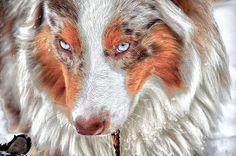 King of Aussieland ... red merle Australian Shepherd..... BEAUTIFUL