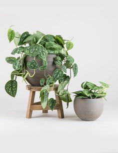 Begonia, Air Plants, Indoor Plants, Indoor Gardening, Hanging Plants, Outdoor Gardens, Hydroponic Gardening, Green Plants, Hanging Baskets