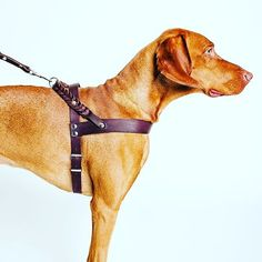 The Cloud7 leather dog harness is designed for style and comfort. #dogs #dog #puppy