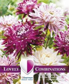 Bilde av Georginekolleksjon, dekorativ Violet and White - 3 stk