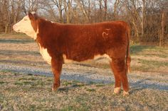 How to Read, Understand, and Use Expected Progeny Differences (EPDs) in Cattle via www.wikiHow.com