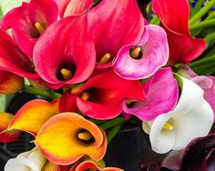 Calla Lily Blooms. Fine Art Flower Photography Print for Home Decor Wall Art. Calla lily flowers in full bloom on display at the farmers market. This bucket of beautiful blooming Calla Lily blooms caught my eye at the farmers market and I had to capture this image. ~~ SELECT DESIRED SIZE USING THE OPTIONS BUTTON ABOVE ADD TO CART. Available in: 5x7, 8x10, 11x14, 12x18, 16x20, 20x30, 24x36 prints.