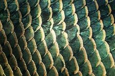 Fish Scales Close Up | study of scales is called squamatology scales help to protect a fish ...