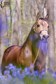 GP Mister Dual Jac Quarter Horse Stallion  Buckskin Dunskin Sooty Team penning reining
