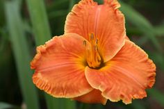 AUTUMN AWAKENING  The flower has a bright blend of orange, copper, coral, and red surrounding a bright yellow-green throat. Extremely ruffled!