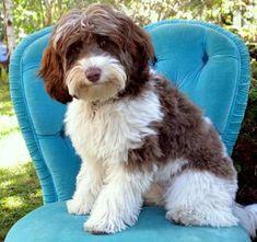 8 Best Doggie Images Labradoodle Labradoodle Breeders