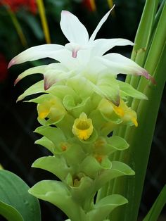 Curcuma Longa Flower.  I have this plant but I thought it was called Hidden Ginger.  Go figure.