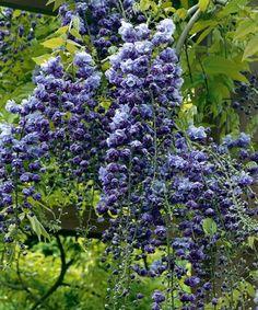Glicină cu flori pline 'Violacea Plena'