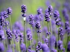 Lavender is one of my favorite colors. Lavender is not only a color, but lavender is a plant and a lovely scent.    Lavender is a color that is...