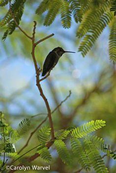 Hummingbird in my back yard