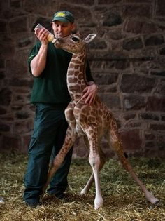 Most babies measured 5ft would be considered big – but newborn #giraffe Margaret at #Chester #Zoo, UK is seen as unusually small for her species.