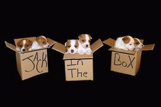 Jack In The Box. 6 Jack Russell Terrier Puppies