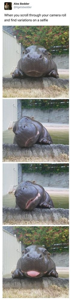 baby hippo This danger water potato is very cute Cute Funny Animals, Funny Animal Pictures, Cute Baby Animals, Funny Cute, Animals And Pets, Cute Pictures, Funniest Pictures, Animal Pics, Baby Pictures