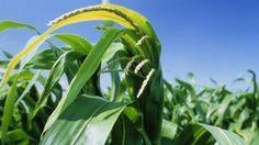 Scotland to ban GM crop growing - BBC News
