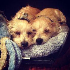 Sleepy #puppies - Zooey Deschanel's pups take a nap