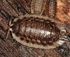 An online resource devoted to North American insects, spiders and their kin, offering identification, images, and information. Potato Bugs, Le Point, Animal Kingdom, Millipedes, Creepy, Centipedes, Wildlife, Butterfly, Kawaii