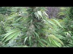 アウトドア 医療大麻の育て方 その5 剪定 @カリフォルニア メンダシノ - https://www.youtube.com/watch?v=aUiBptP2Es8