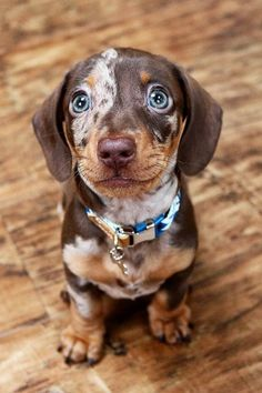 Super Cute Puppies, Cute Baby Dogs, Cute Dogs And Puppies, Cute Pets, Dog Baby, Weenie Dogs, Dachshund Puppies, Dachshund Love, Doggies