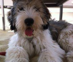 Polish Lowland Sheepdog puppies, PON PUPPY BUYERS GUIDE Featured PON PUPPY Album