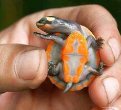 This beautiful animal is a Red-bellied short-necked turtle. It is found in Australia and Papua New Guinea, and in Australia it is highly endangered. These stunning colours are highly pronounced as infants and juveniles, but fade as they age. They reach about ten inches (25cm) in length.  I fucking love science