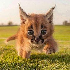 Yavru Puma
