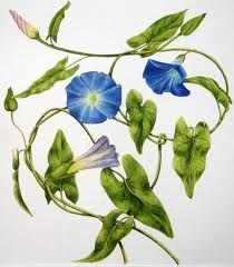 morning glory botanical drawing