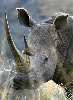 White rhino close-up