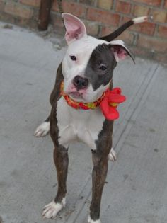 SAFE 6-11-2015 --- TO BE DESTROYED 6/4/2015  Brooklyn Center   My name is CHIPS AHOY. My Animal ID # is A1037300. I am a female br brindle and white pit bull mix. The shelter thinks I am about 1 YEAR 1 MONTH old.  I came in the shelter as a STRAY on 05/23/2015 from NY 11207, owner surrender reason stated was STRAY.