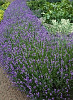 Few perennials can compare to Fragrant Lavender. An all-time favorite, these compact plants are so easy to maintain. Lovely silvery-green foliage is set off by the spikes of lavender flowers. The fragrant blooms are prized for use in potpourri and sachets Sun Plants, Live Plants, Garden Plants, Deer Resistant Plants, Lavender Flowers, Types Of Lavender Plants, Lavender Hedge, Purple Flowers, Gardening