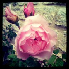 Roses in my Cotswold garden. The inspiration for our cotton flannel pjs by Charlotte & Co.,